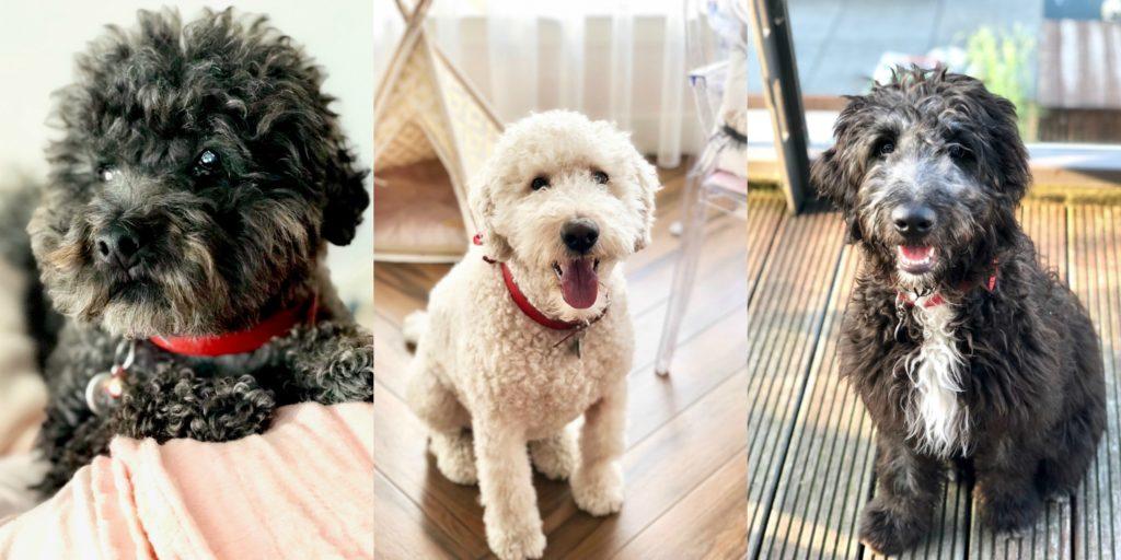 3 honden toy poedel, labradoodle en een golden doodle
