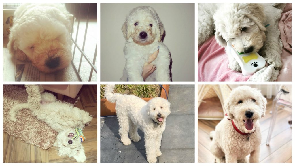 Labradoodle puppy tot volwassen