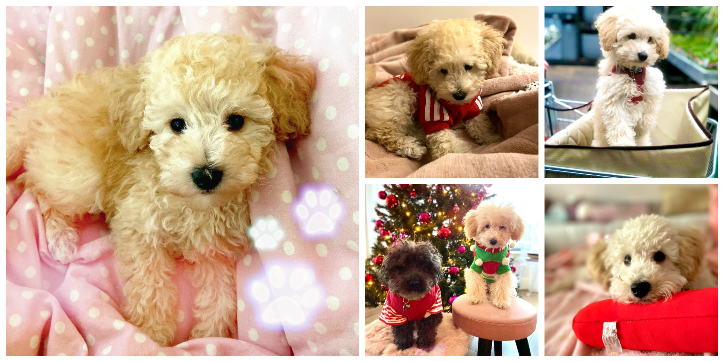 apricot tiny toy poodle