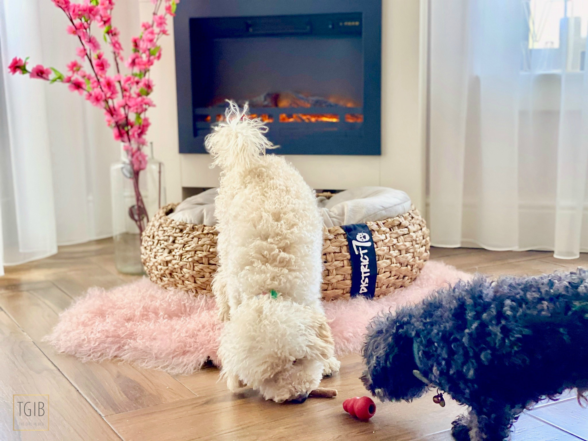 the pet empire two toy poodles playing